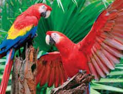 400 Scarlet Macaw