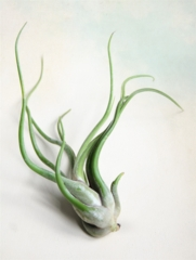Extra Large Single Air Plant