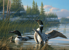 1000 - Common Loons
