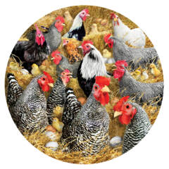 Chickens and Chicks 1000pc Puzzle
